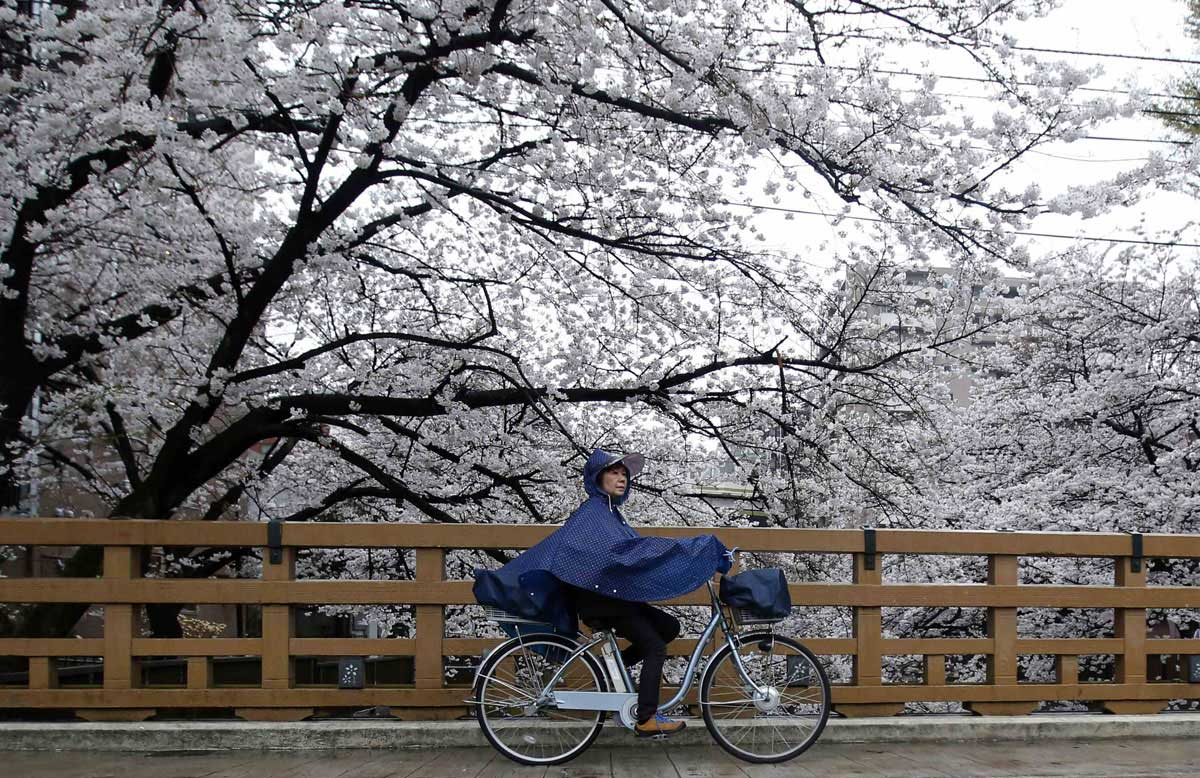 Una signora giapponese in bicicletta tra gli alberi di cigliegio // Photo by Yuya Shino/Reuters