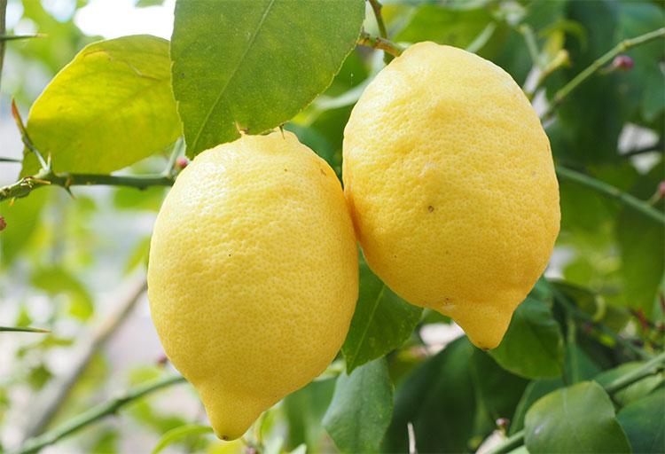 Limoni ancora appesi all'albero
