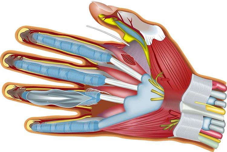 Anatomia mano
